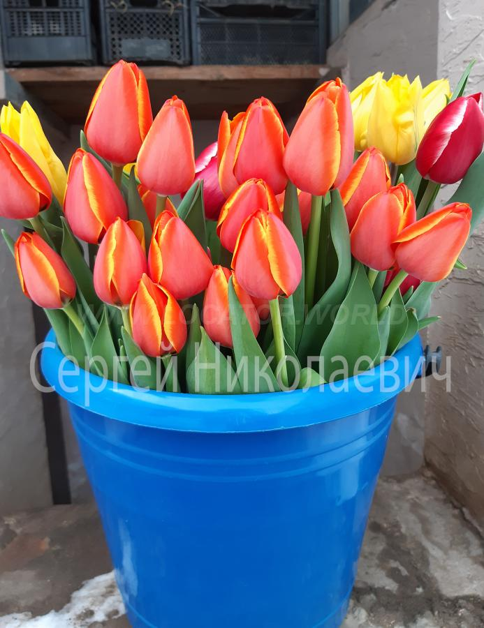 Тюльпаны оптом к 8 Марта. телефон +7 928 412 09 56 купить на сайте объявления Армавир онлайн