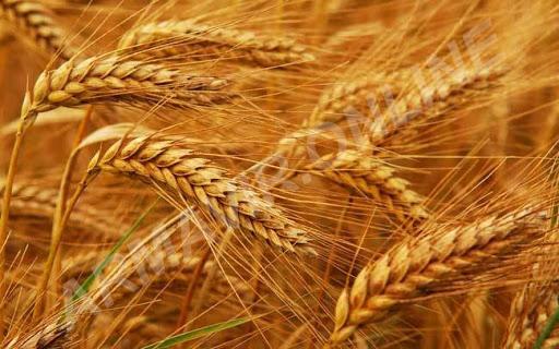 Пшеница. телефон +7 938 438 44 38 купить на сайте объявления Армавир онлайн
