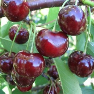 Вишня ягода Мичуринка . телефон +79286629998 купить на сайте объявления Армавир онлайн