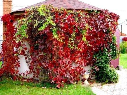 Девичий(дикий) виноград . телефон +79183497210 купить на сайте объявления Армавир онлайн